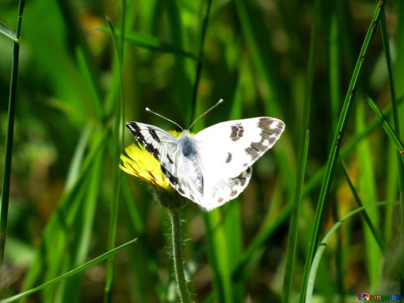 Бабочка капустница №24655