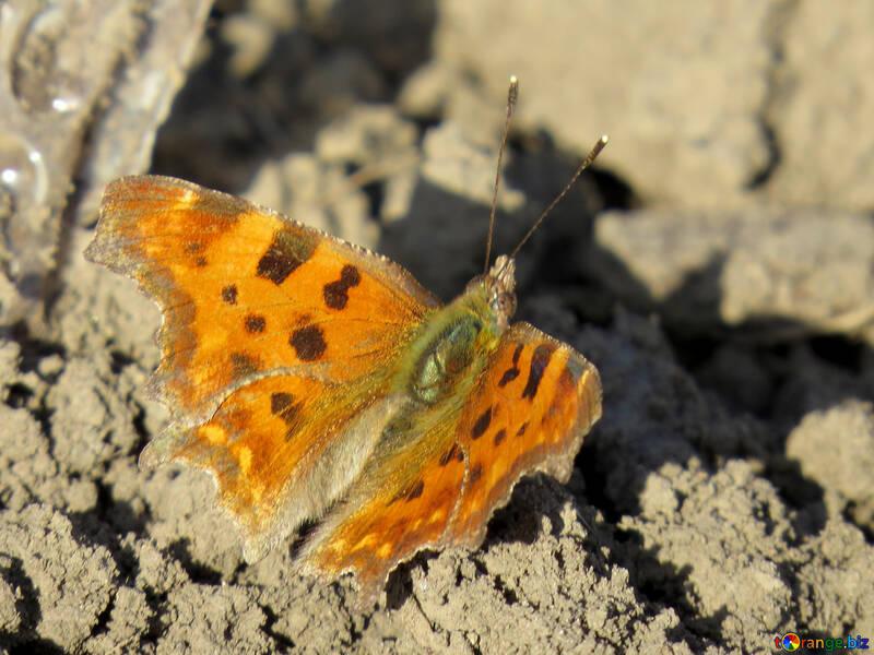 Orange butterfly with black spots №24370