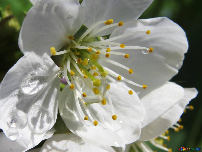 Цветок вишни №24071