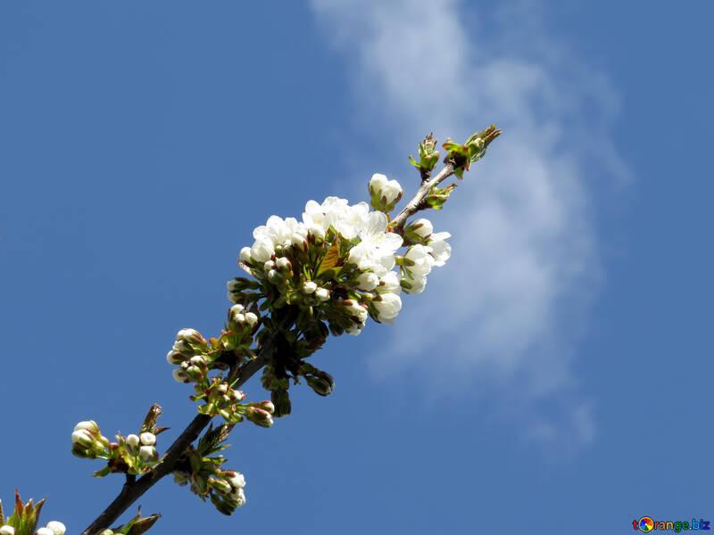 Цветок вишни №24454