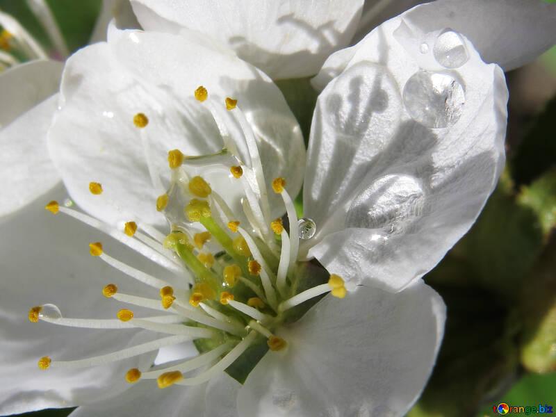 Цветок вишневого дерева №24066