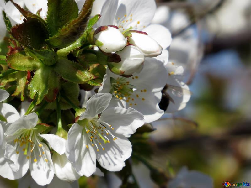 Красивые цветы вишни №24440