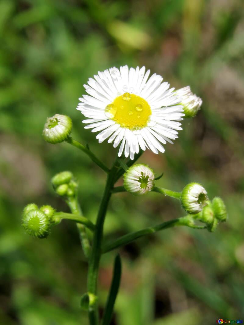 Drops on daisy №24932