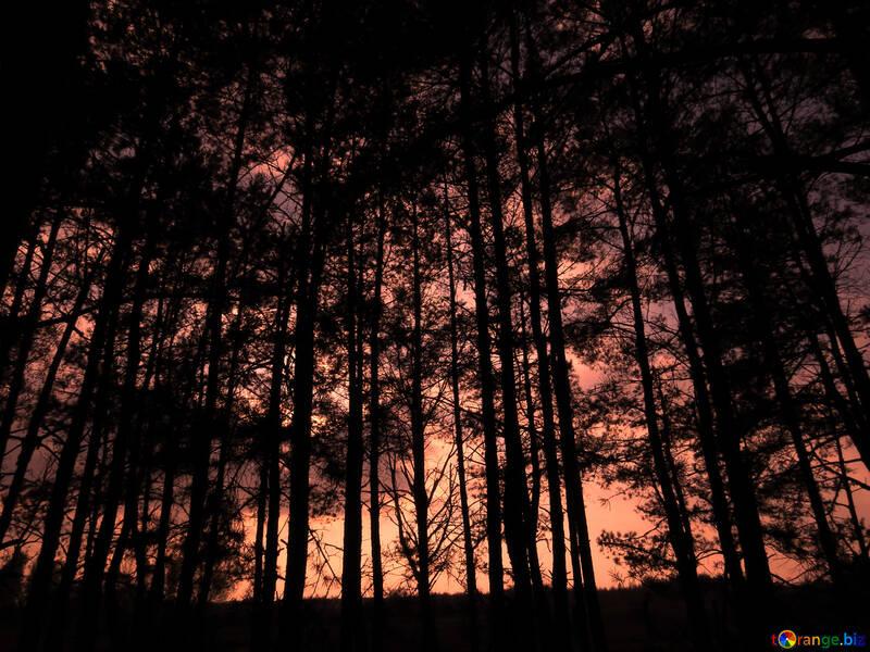 Puesta de sol en el bosque №24808