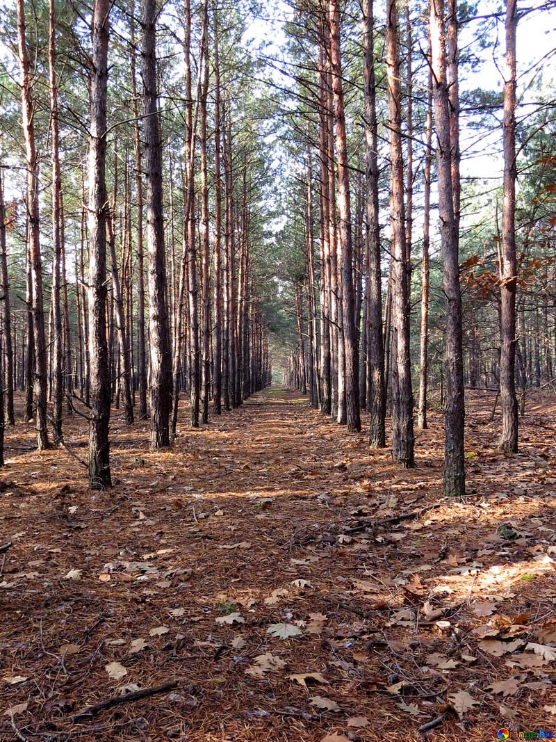 Pine forest in autumn №24861