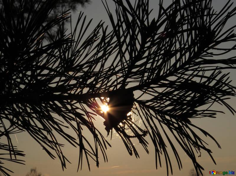 Coucher de soleil de forêt №24748