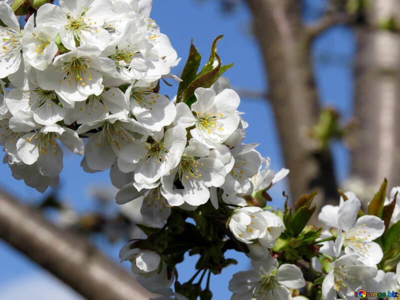 Аромат цветущего дерева №24495