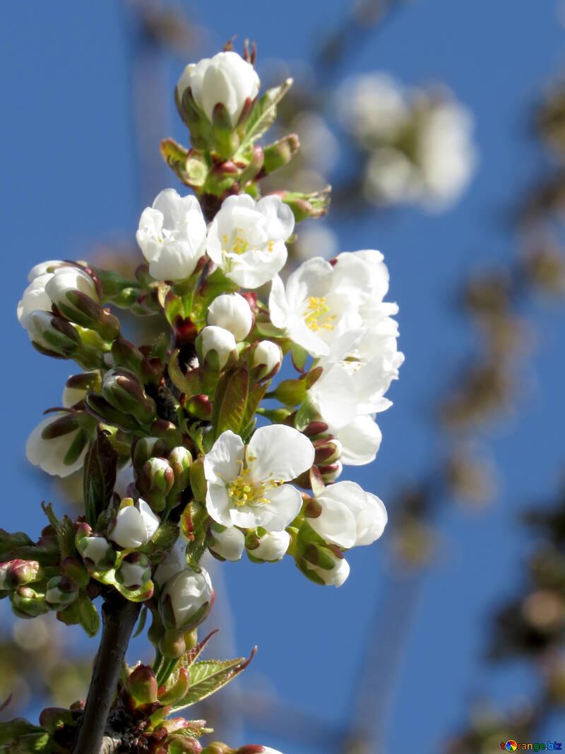 Ветка нежных цветов №24481