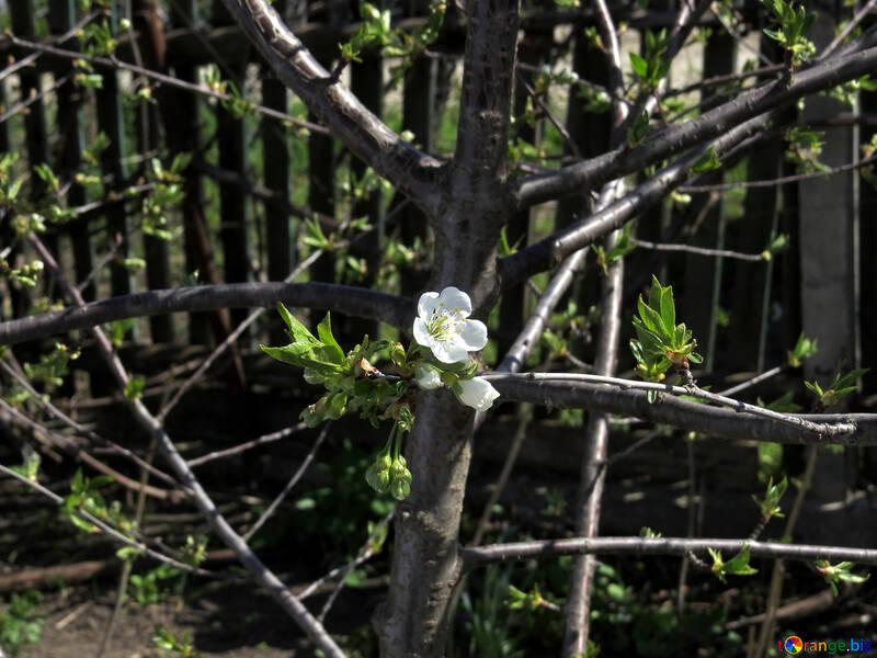 Primeras flores №24027