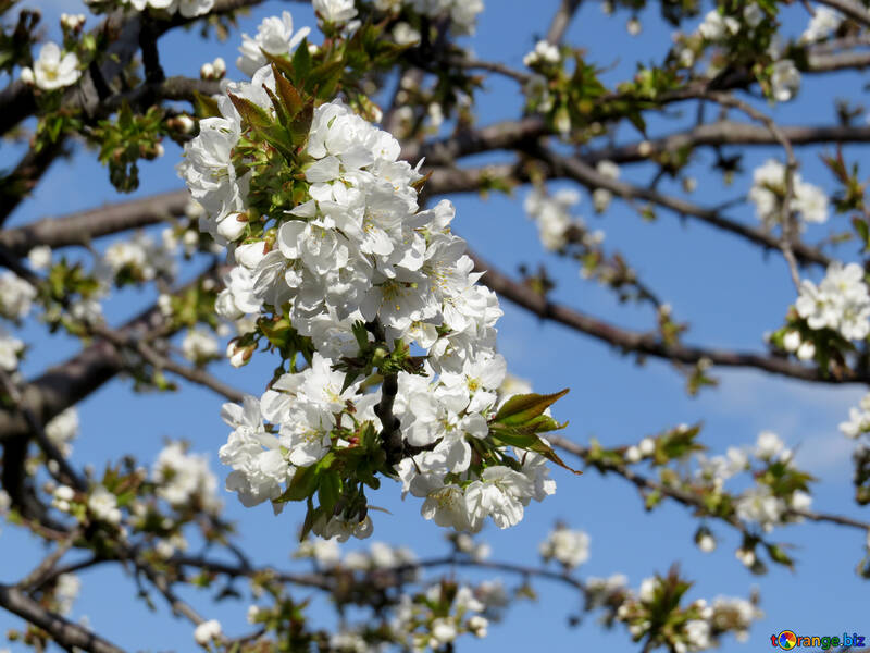 Много цветов на дереве №24504