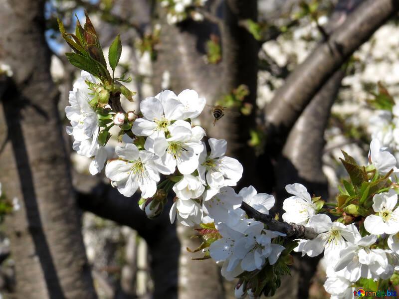 Фруктовый сад весной цветет №24468