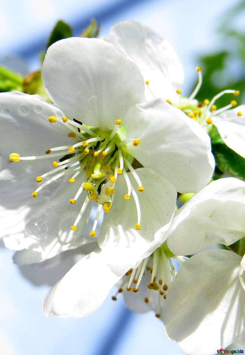 Весенние цветение №24051