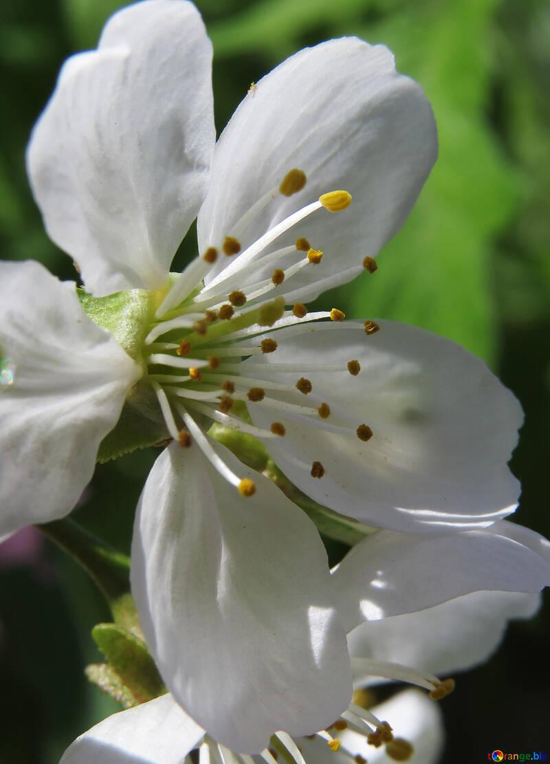 Spring flower №24064