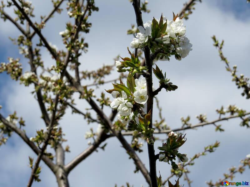 Цветущее дерево  №24452