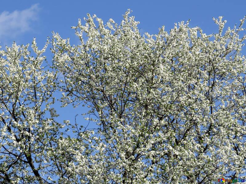 Blühenden Bäumen №24508
