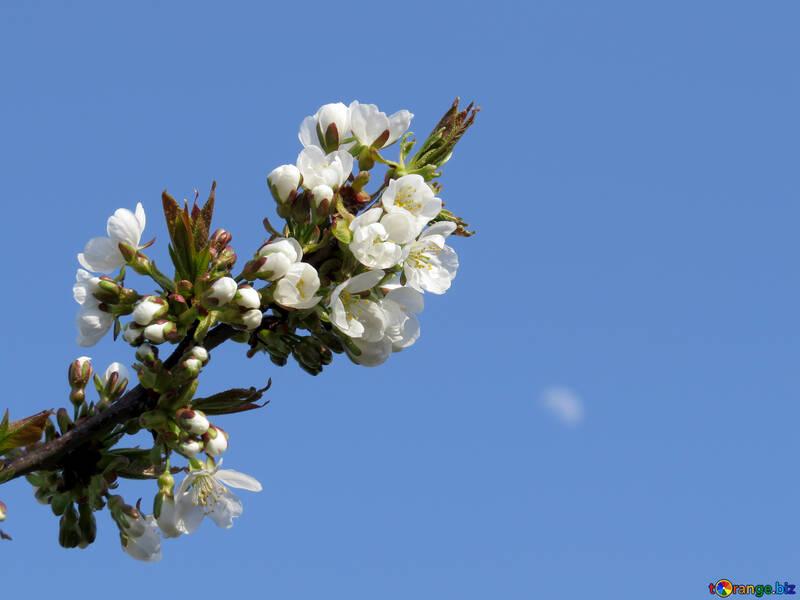 Цветки с деревьев №24404