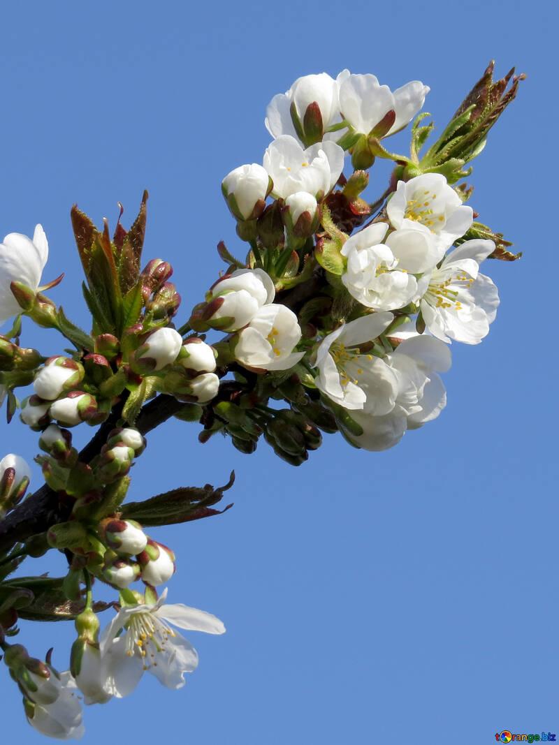 Цветы деревьев №24405