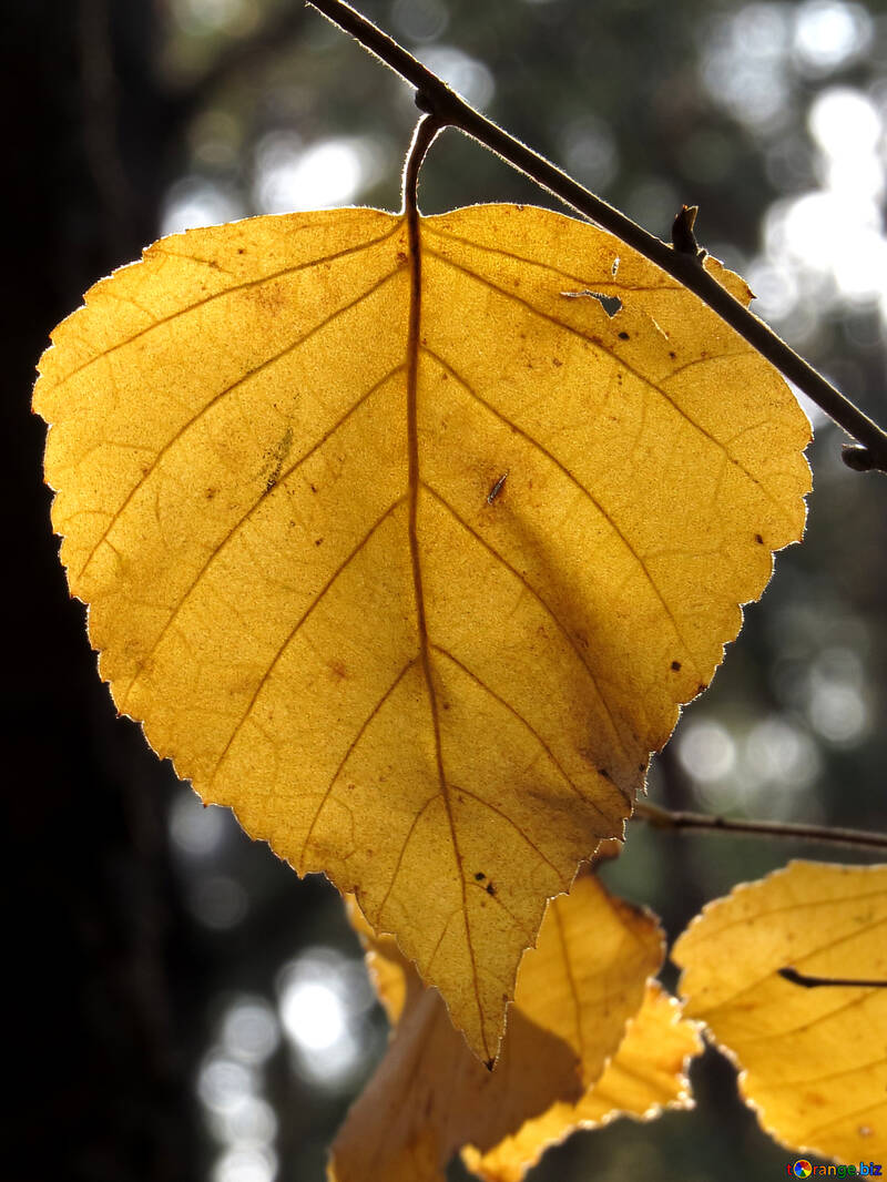 Yellow leaf №24870