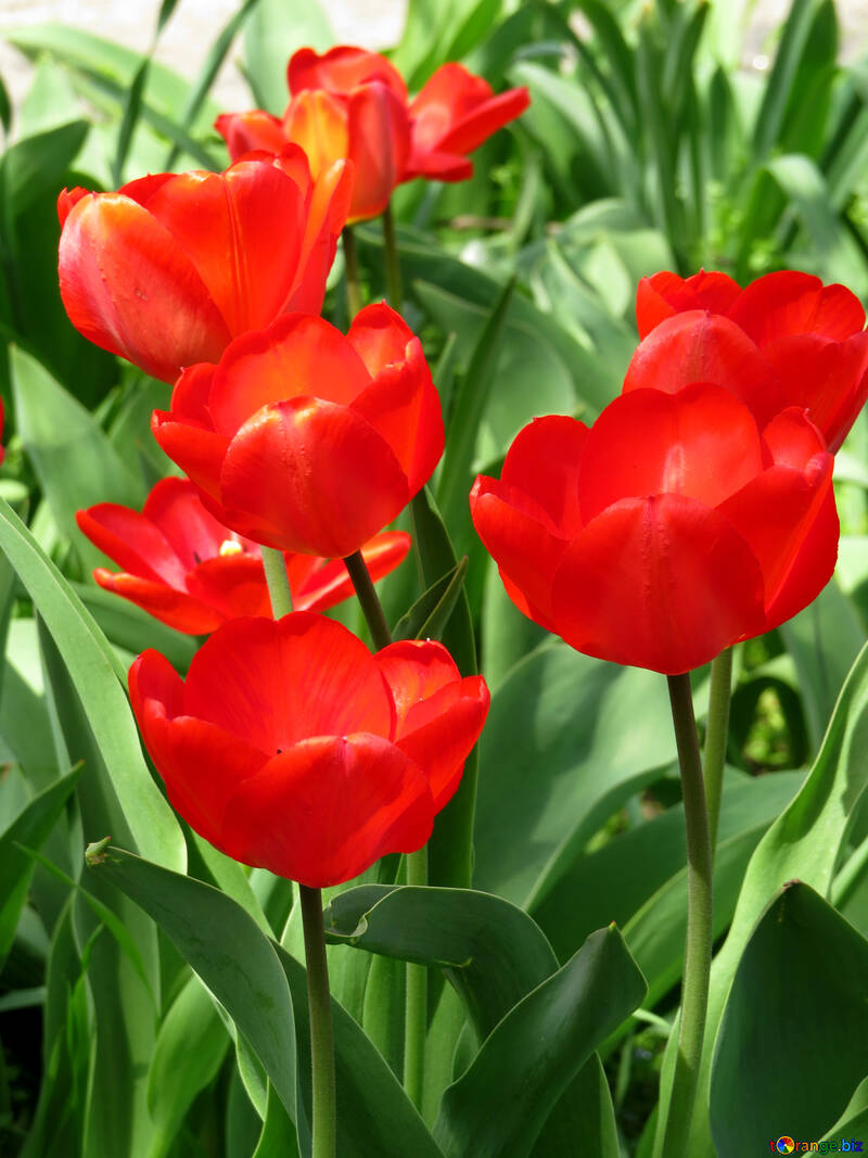 Red tulips №24144