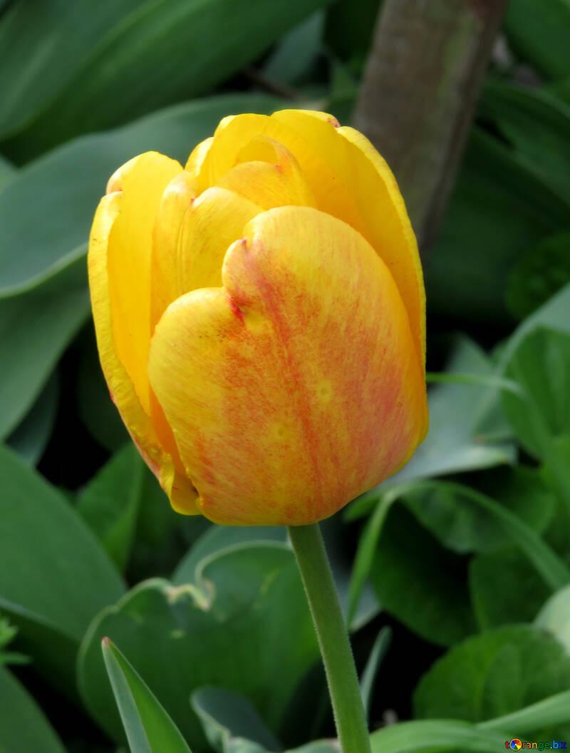 Yellow Tulip №24131