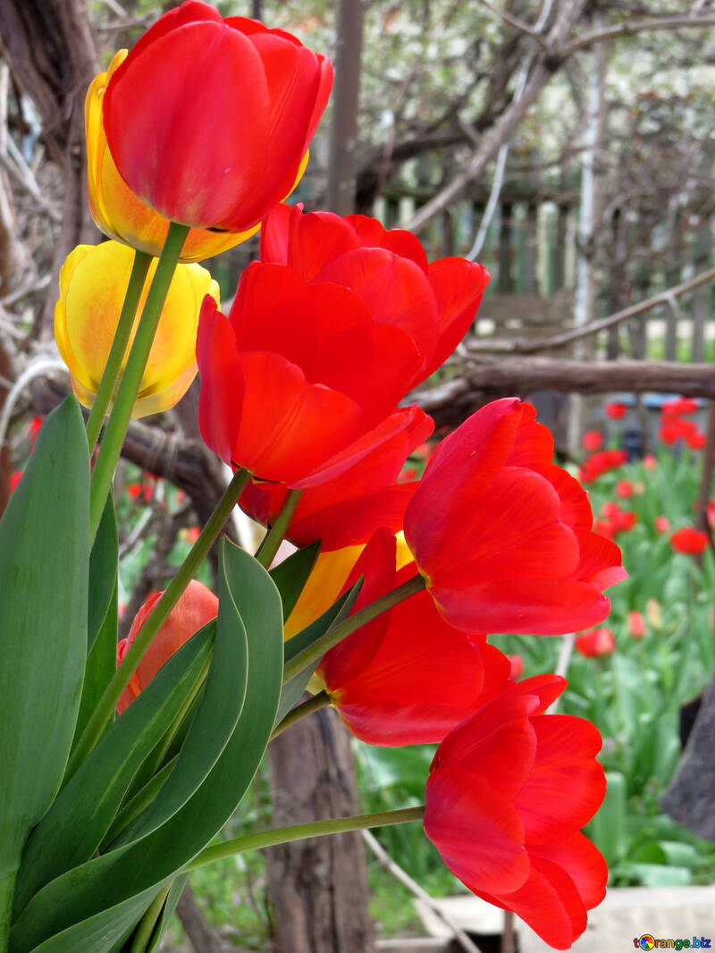 Tulips №24137