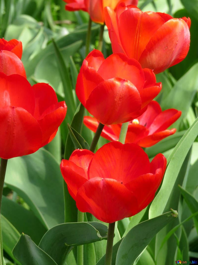Dutch tulips №24145