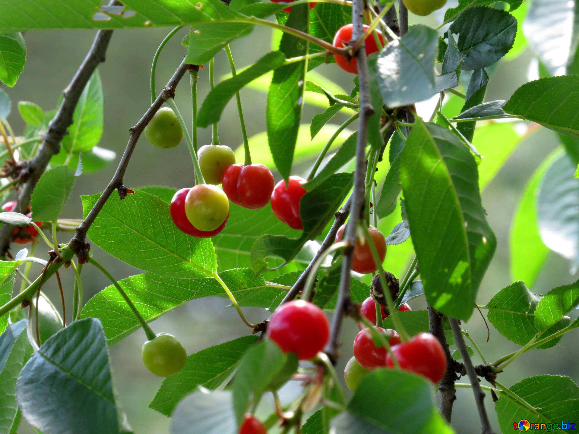 fruit trees cherry fruits 25981