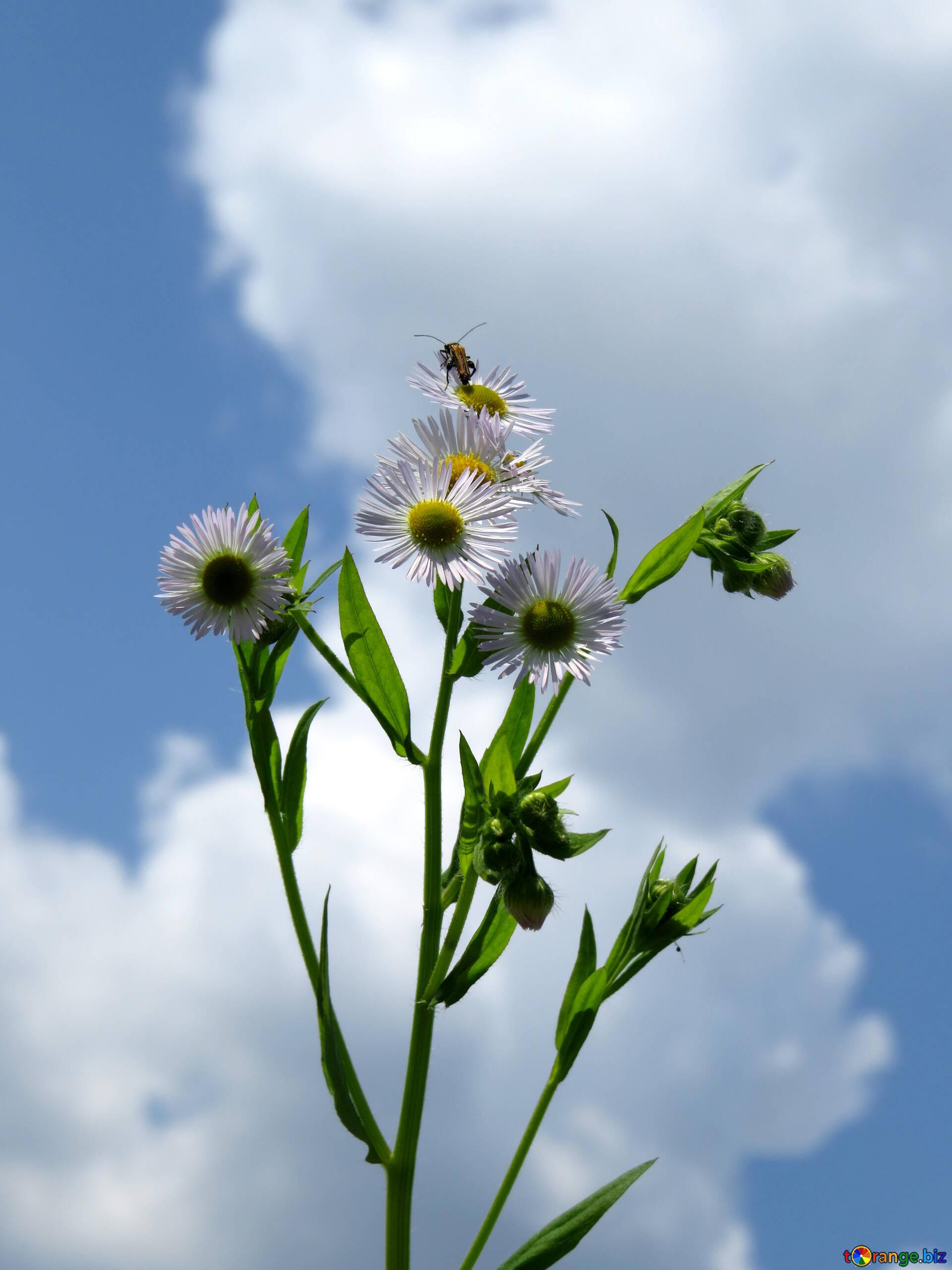 Wild aster daisy flower on sky background summer 25024 download free image flower on sky background in hd wallpaper size 1920px izmirmasajfo