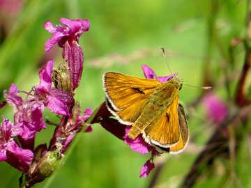 Butterfly leafhopper №25005