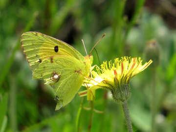 Meadow moth №25943