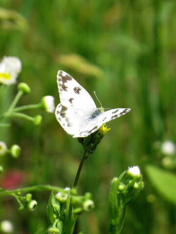 Butterfly with white wings №25911