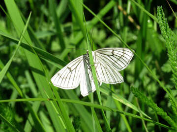 White butterfly with black stripes №25938