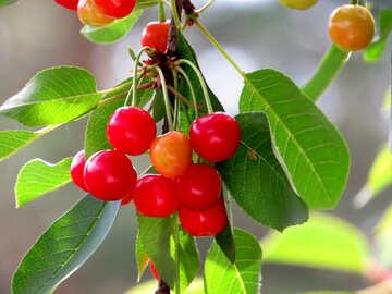 Ripe cherries №25991