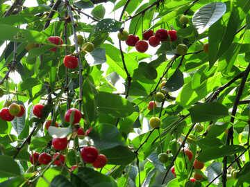 Cherry harvest №25985
