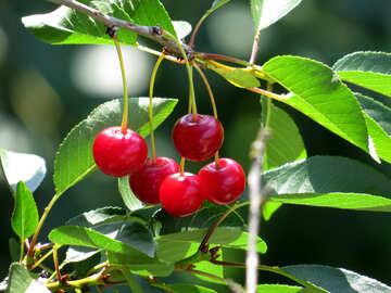 Red cherry №25960