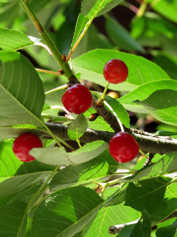 Cherry tree №25976