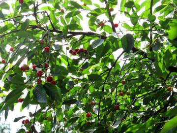 Cherry tree №25984