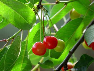 Unripe cherry №25978