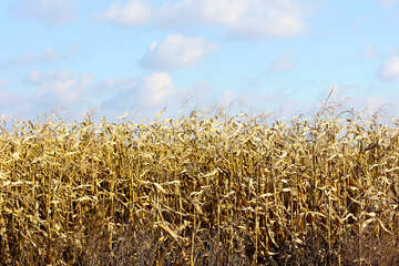 Corn №25807