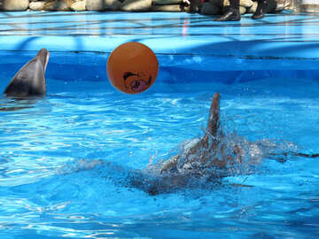 Dolphins playing with ball №25450