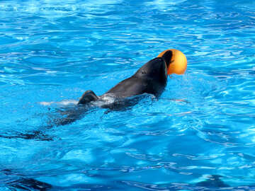 Dolphin swims for the ball №25449