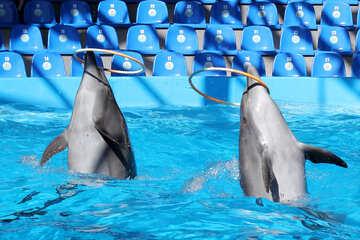 Dolphins hoop №25535
