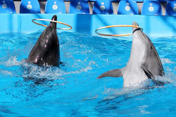 Dolphins playing with hula hoop №25533