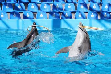 Dolphins twist hoop №25534