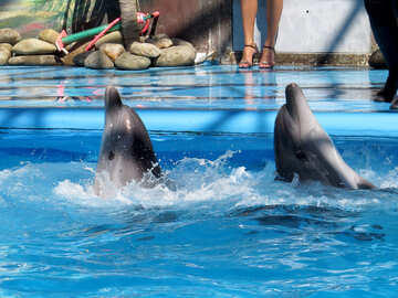 Dolphins dancing №25334