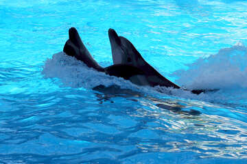 Dancing dolphins №25527