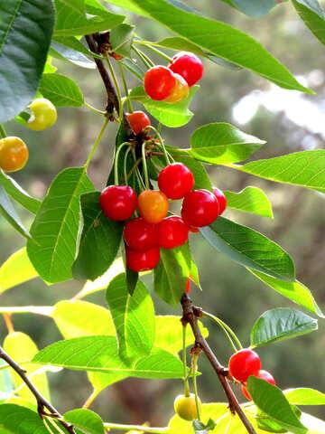 Cherry №25988