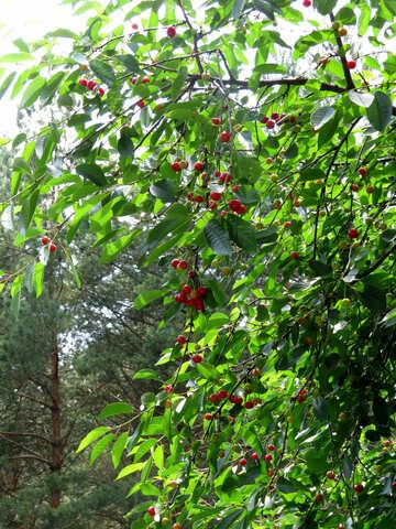 Cherry tree №25993