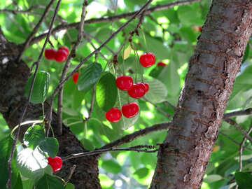 Berries on tree №25957