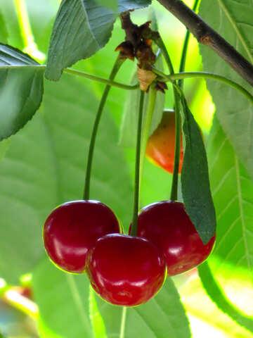 Cherries №25966